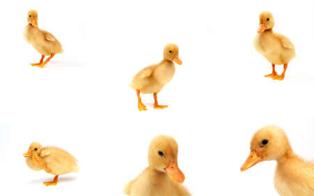 six cute yellow ducks ,isolated on white in a 10 mp. file  Stock Photo