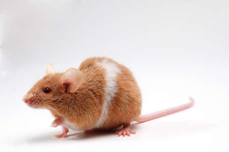 cute mouse on white  photo