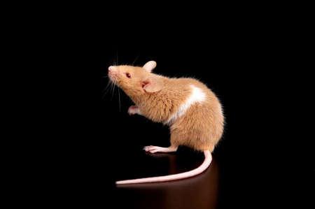 mouse on black background  photo