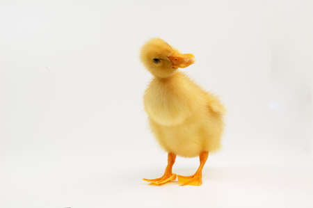 cute little yellow duck  photo
