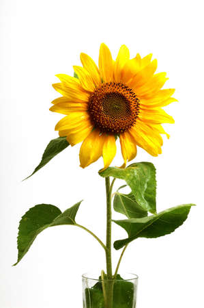 smiling sunflowers ,isolated on white background Stock Photo - 12146087