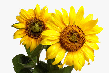 Two smiling sunflowers ,isolated on white background Stock Photo