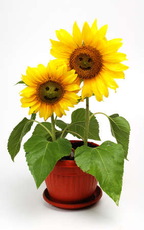 Two smiling sunflowers ,isolated on white background Stock Photo - 12146098
