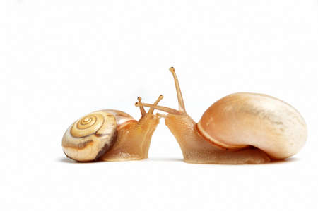 two cute garden snails on white,isolated background photo