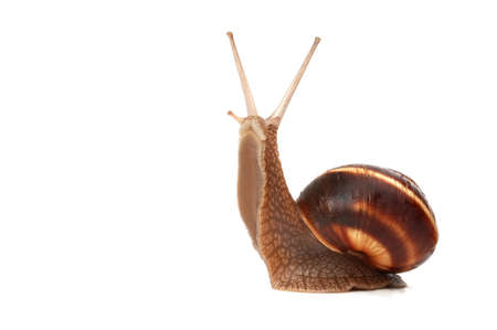 funny snail ,isolated on white background  photo