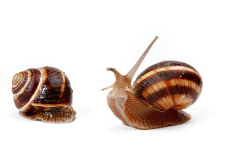 two cute garden snails on white,isolated background