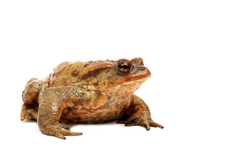 Old ,fat,ugly frog,isolated on white background  Stock Photo - 12805379