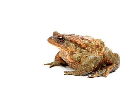 Old ,fat,ugly frog,isolated on white background  photo