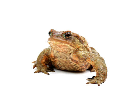 Old ,fat,ugly frog,isolated on white background  Stock Photo - 12805394