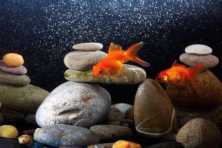 peces de acuario: pareja de peces de colores en el acuario más bien organizado ZEN Stone y bokeh agradable de burbujas