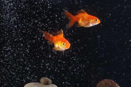 couple goldfish in aquarium Stock Photo