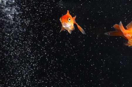 couple goldfish in aquarium Stock Photo - 12805366
