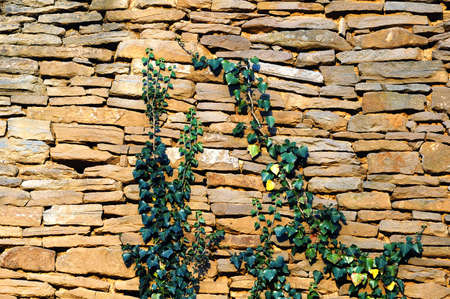 old stone wall texture with some ivy,suitable for background photo