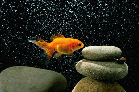 goldfish in aquarium over well-arranged zen stone and nice bokeh of bubbles  Stock Photo - 12805339