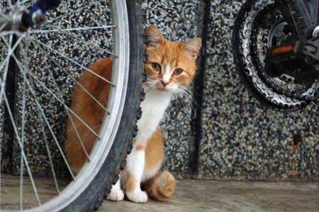 gato naranja: Orange gato Foto de archivo