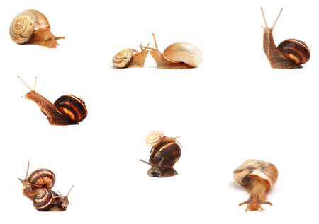 garden snails ,isolated on white background  photo