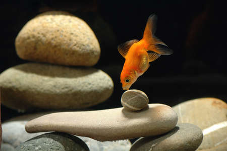 goldfish in aquarium over well-arranged zen stone and nice bokeh of bubbles Stock Photo - 13056773