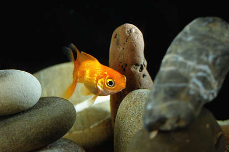 goldfish in aquarium over well-arranged zen stone and nice bokeh of bubbles  Stock Photo - 13056791
