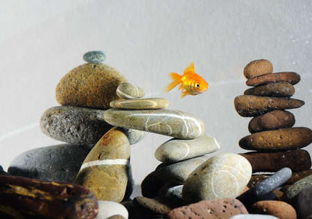fresh water aquarium fish: goldfish in aquarium over well-arranged zen stone and nice bubbles