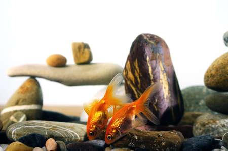 couple goldfish in aquarium over well-arranged zen stone Stock Photo - 17133563