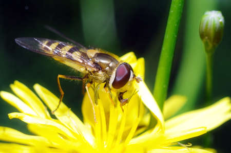 yellow fly looks like a sting in a flower Stock Photo
