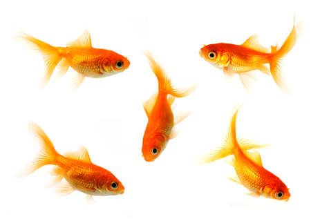 collection of goldfish isolated on white in 24mp  file photo