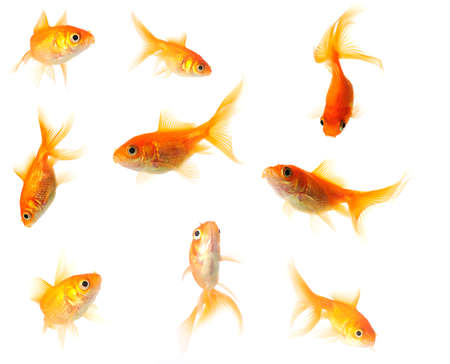 collection of goldfish isolated on white in 24mp  file