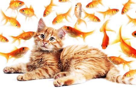 cute  hungry  orange cat  looking goldfishes in aquarium photo