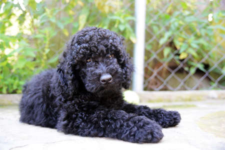 closeup puppy: Black  Poodle puppy . Close-up portrait