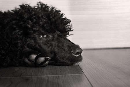 sadly: black cute  poodle dog  on floor, watching sadly Stock Photo