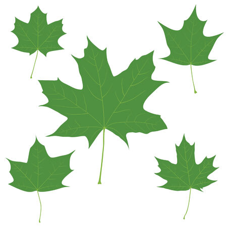 Set of vector green maple leaves on the white background for your design