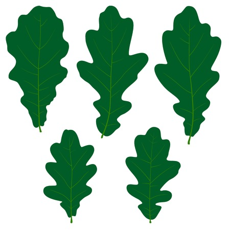 Set of vector green oak leaves on the white background for your design