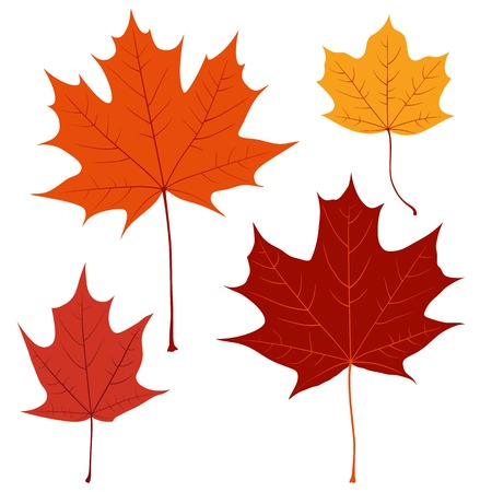 Set of vector maple leaves on the white background for your design