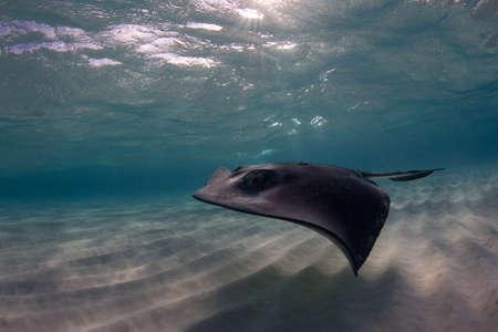 shallow water: Shallow Water Stingray