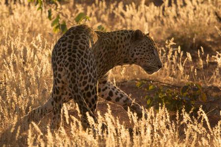 golden: Golden Leopard