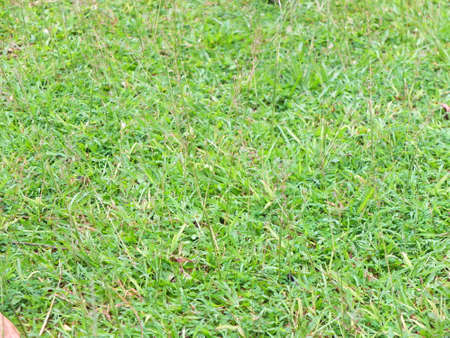 green grass for texture and background design