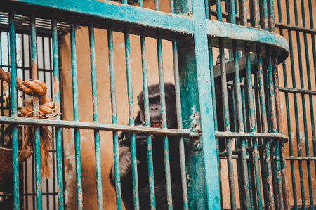 chimpanzee in cage at giza zoo, egypt Stock Photo