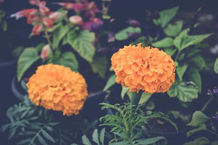 Orange marigold flowers background Stock Photo