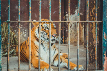 giza, egypt, march 4, 2017: view of tiger in cage at giza zoo Stock Photo
