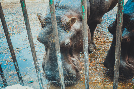 hippopotamus: giza, egypt, march 4, 2017: view of hippopotamus in cage at giza zoo