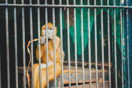 giza, egypt, march 4, 2017: yellow monkey eating in cage at giza zoo