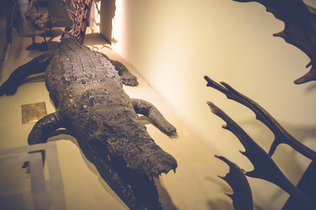 niloticus: cairo, egypt, may 6, 2017: crocodilus niloticus statue inside hunting museum of muhammad ali at manial palace Editorial