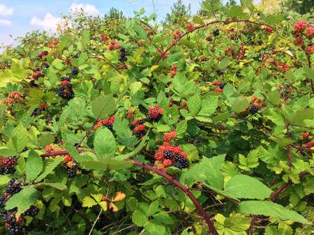 Blackberry en la naturaleza
