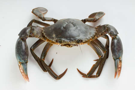 Live mud crab, arranged on a white textured background, isolated.
