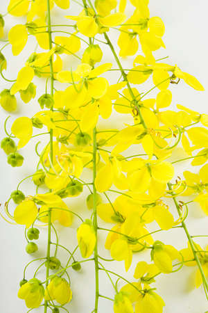Yellow flowers of Golden shower or cassia fistula which is commonly known in kerala as Kani konna, arranged on white textured background.