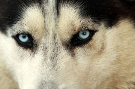 blue eye husky: Beautiful husky dog looking straight at the camera