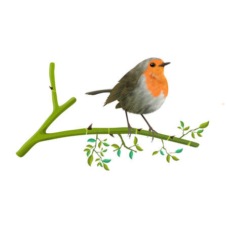 Red-breasted Robin Bird