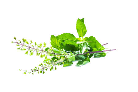 tulasi: Holy basil or tulsi leaves  Stock Photo