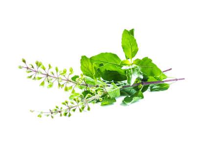 tulsi: Holy basil or tulsi leaves  Stock Photo