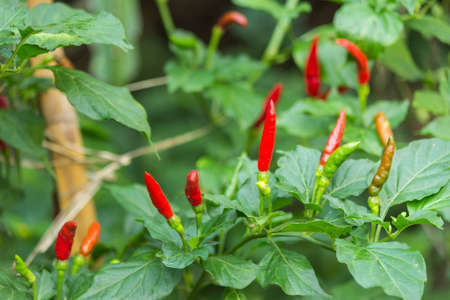 birds eye: Birds eye chili pepper plant